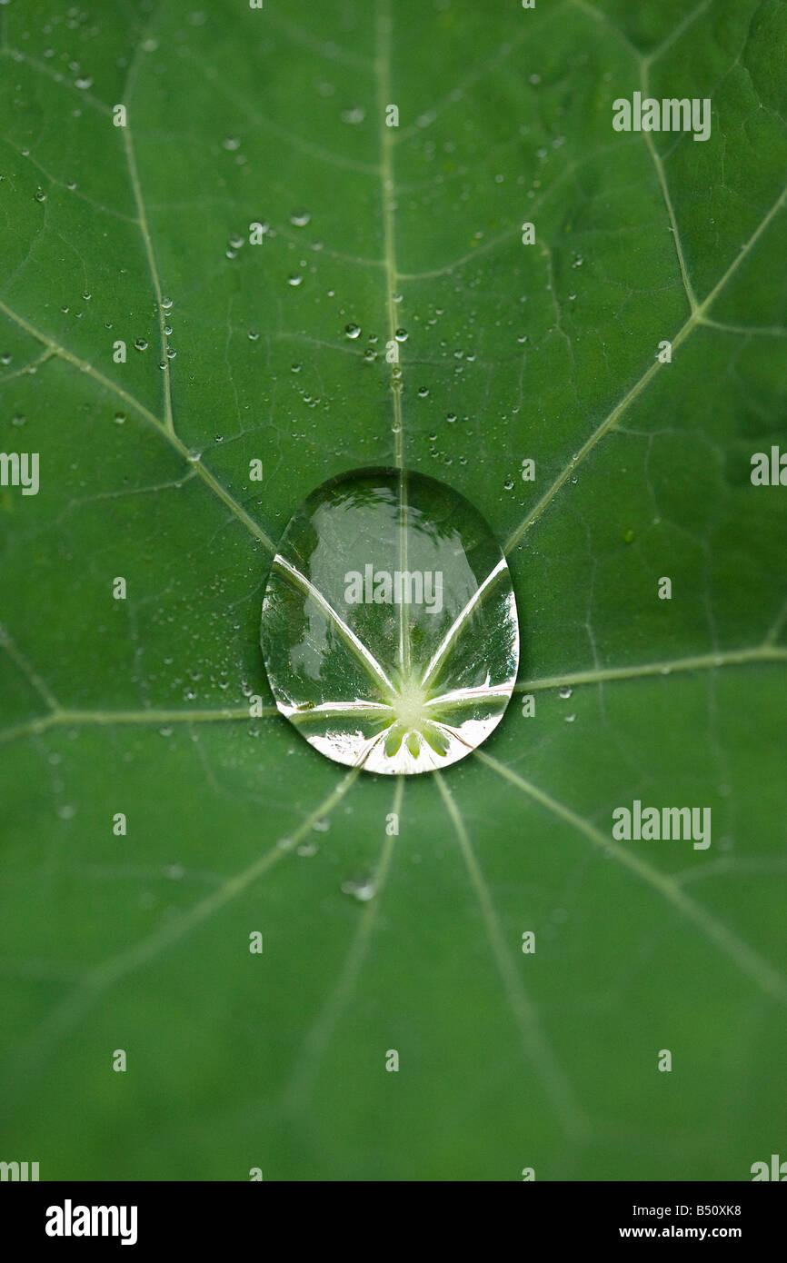 Raindrop on nasturtium leaf - Stock Image