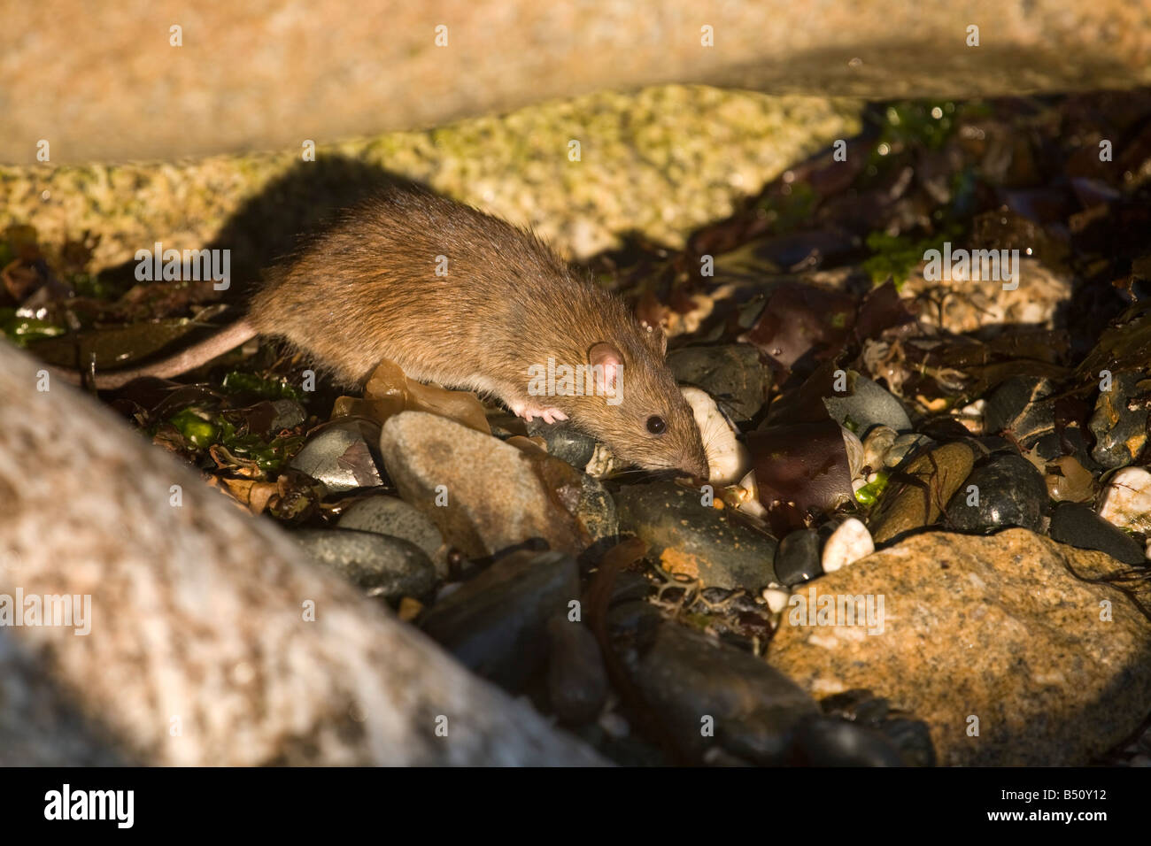 brown rat Rattus norvegicus on a beach cornwall - Stock Image