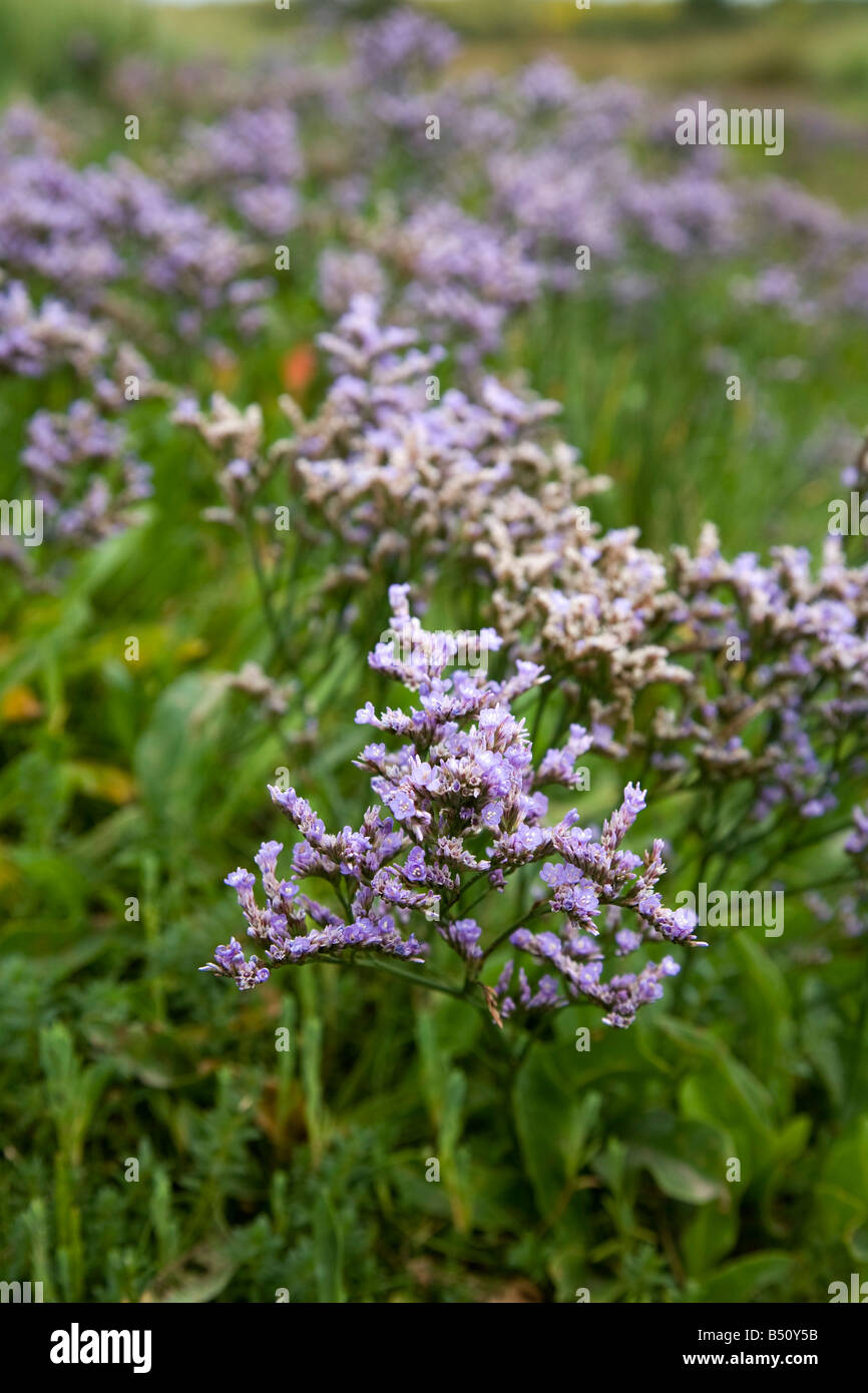 common sea lavender Limonium vulgare - Stock Image