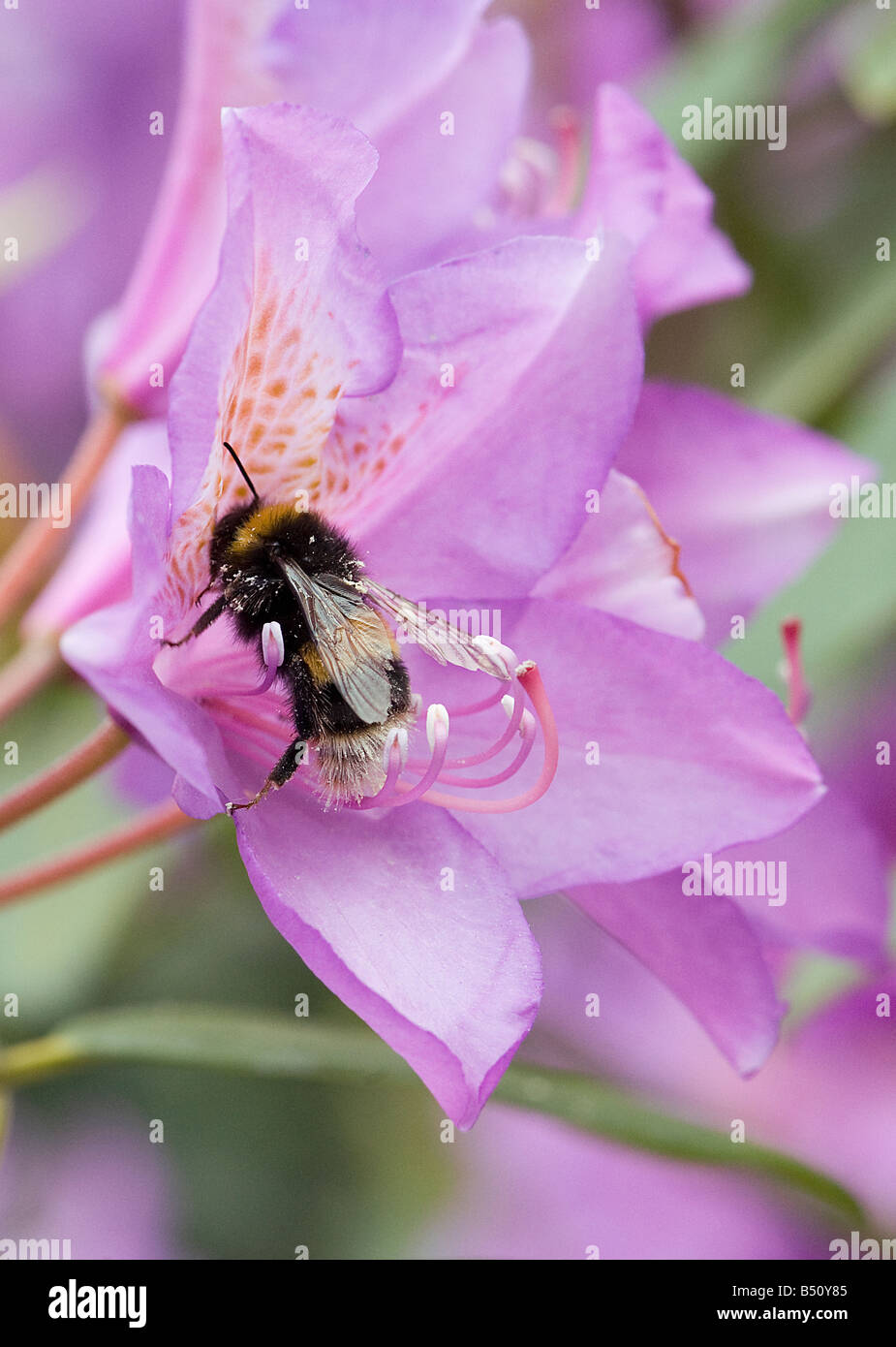 Bumblebee foraging in Rhododendron ponticum flowers with cream pollen on body aids pollination when it flies to - Stock Image