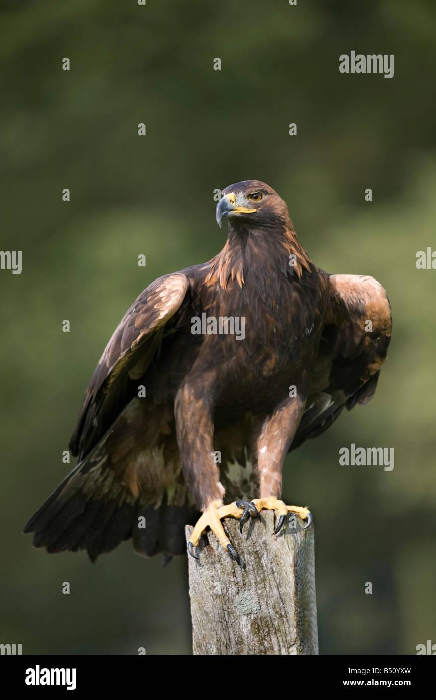 golden eagle Aquila chrysaetos perched - Stock Image
