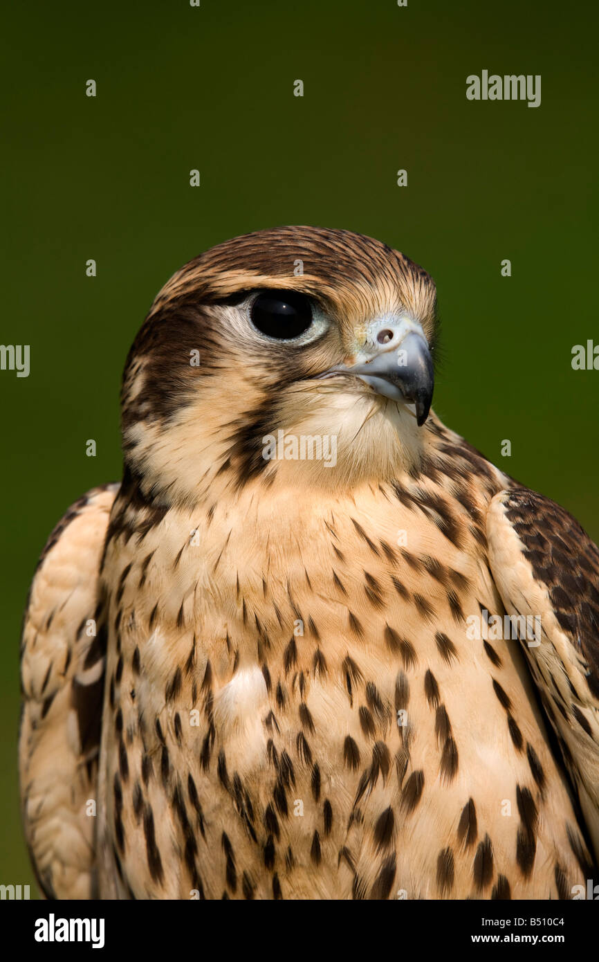 prairie falcon Falco mexicanus captive bird - Stock Image