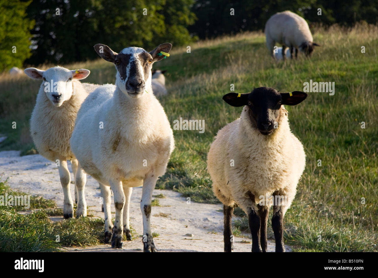 Three sheep standing on chalk path looking directly at viewer, early morning - Stock Image