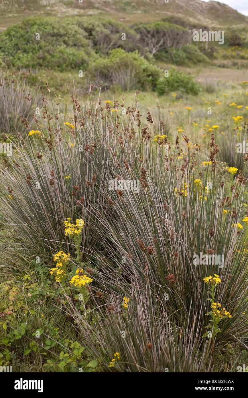sharp rush Juncus acutiflorus - Stock Image