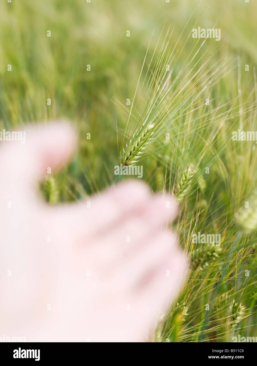 Close up of a human palm and wheat crop - Stock Image