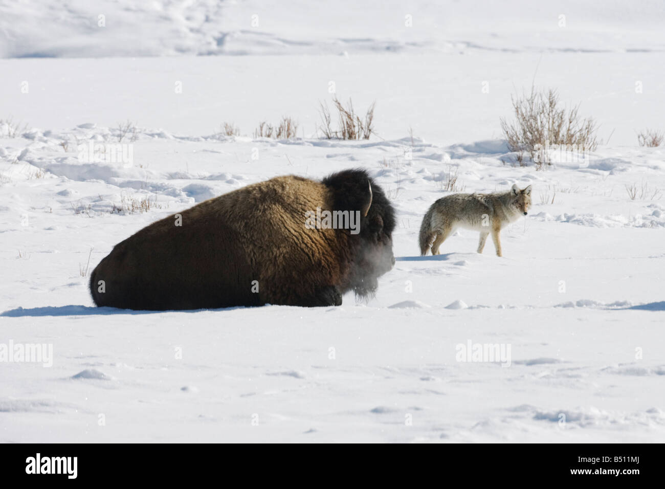 American Bison Buffalo Bison bison adult in snow and Coyote Canis latrans Yellowstone National Park Wyoming USA - Stock Image