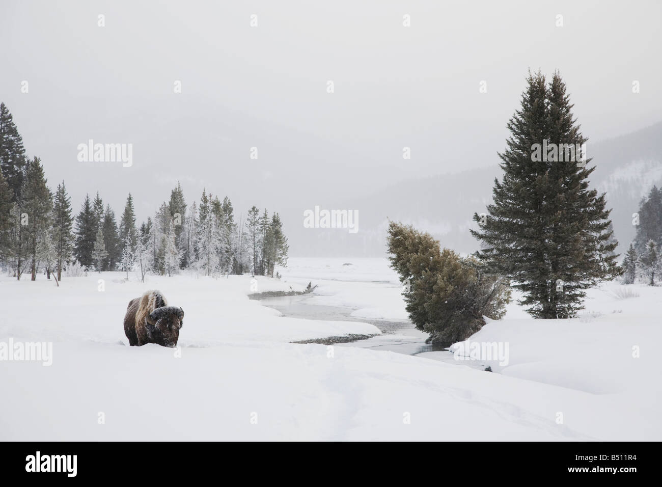 American Bison Buffalo Bison bison adult in snow Yellowstone National Park Wyoming USA - Stock Image