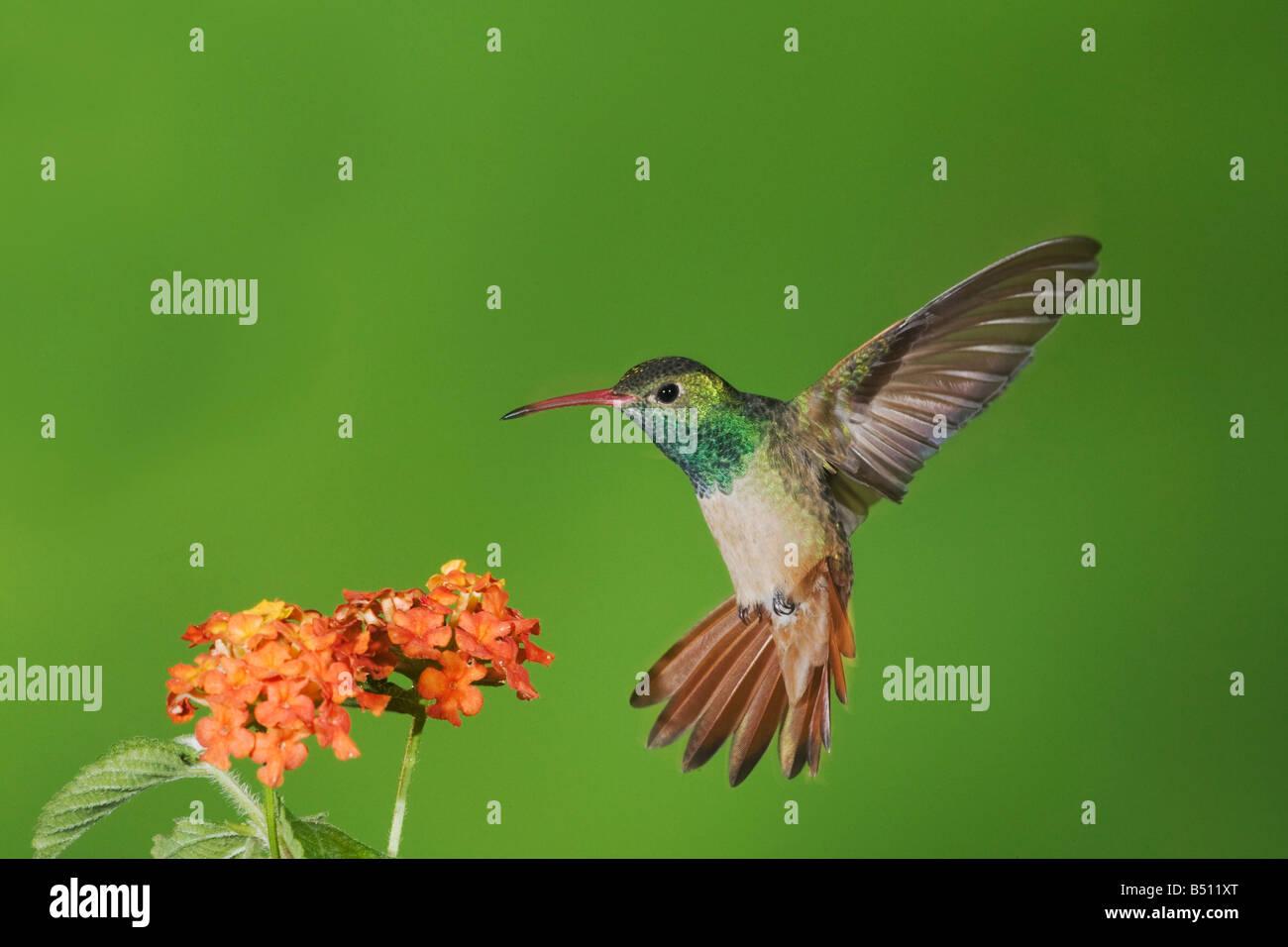 Buff-bellied Hummingbird Amazilia yucatanenensis male feeding on lantana Sinton Corpus Christi Coastal Bend Texas - Stock Image
