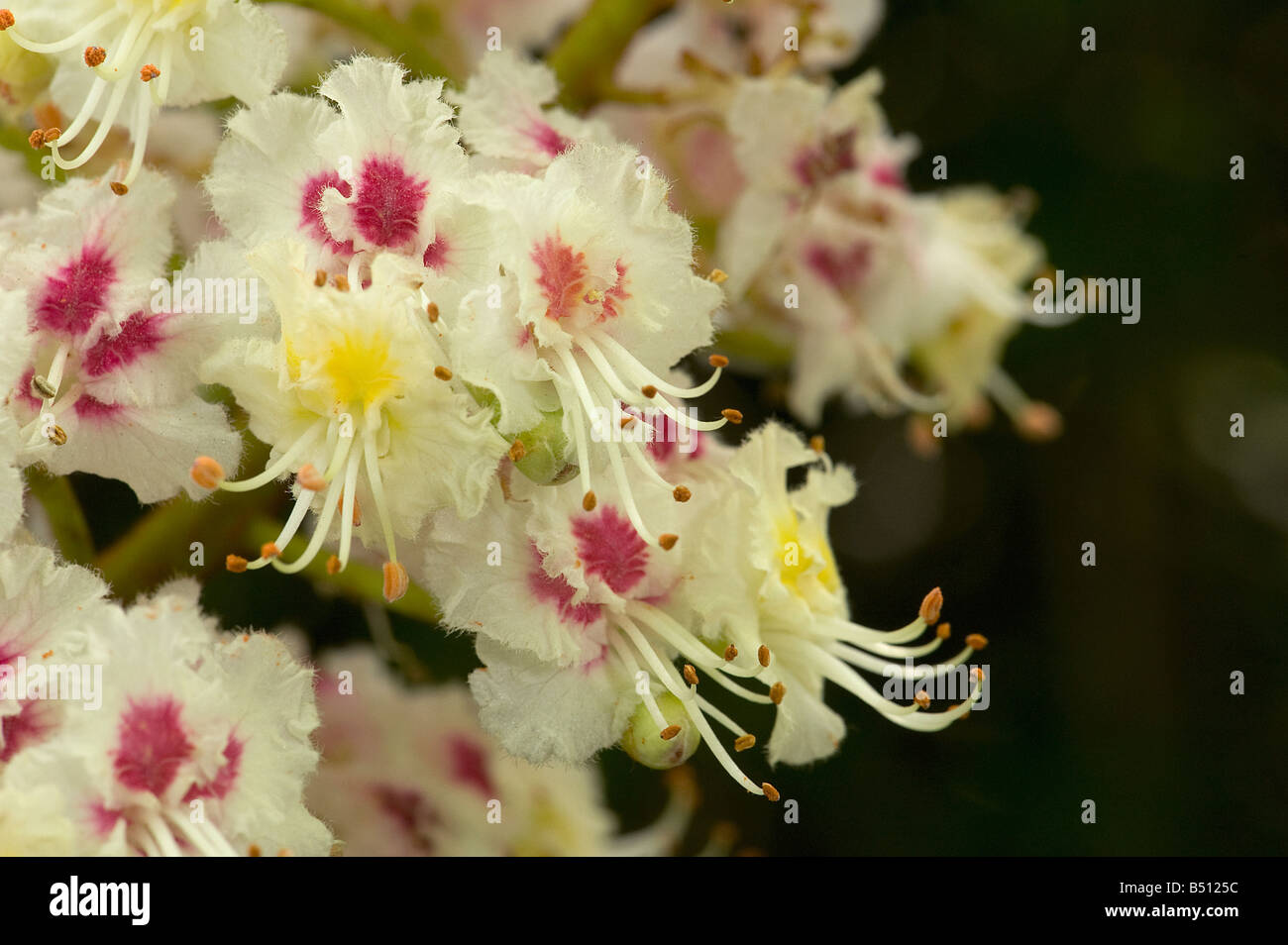 Horse chestnut flowers Aesculus hippocastanum have yellow centre at first turn red with age as pollen is exhausted - Stock Image