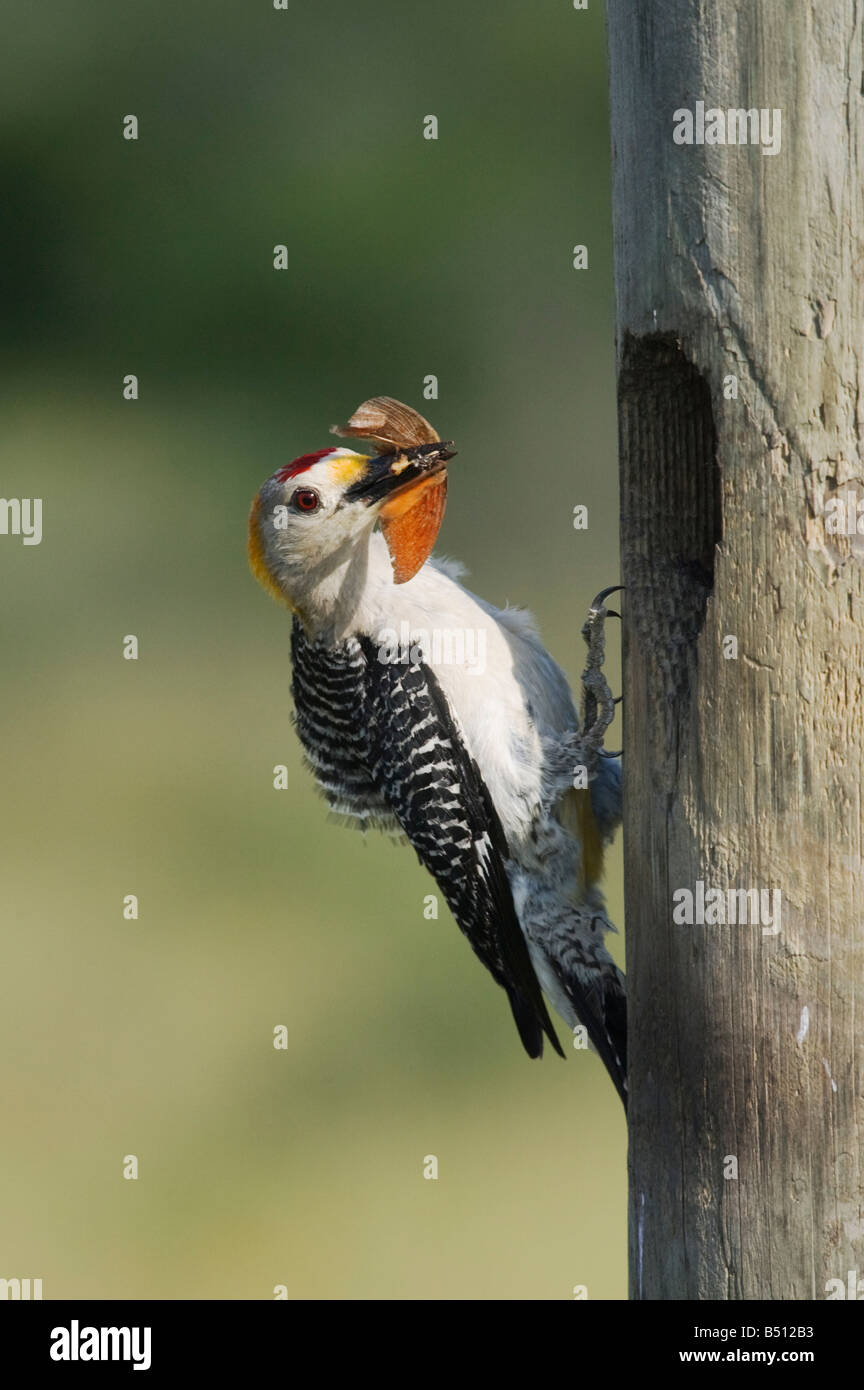 Golden-fronted Woodpecker Melanerpes aurifrons male at nesting cavity with butterfly prey Corpus Christi Coastal - Stock Image