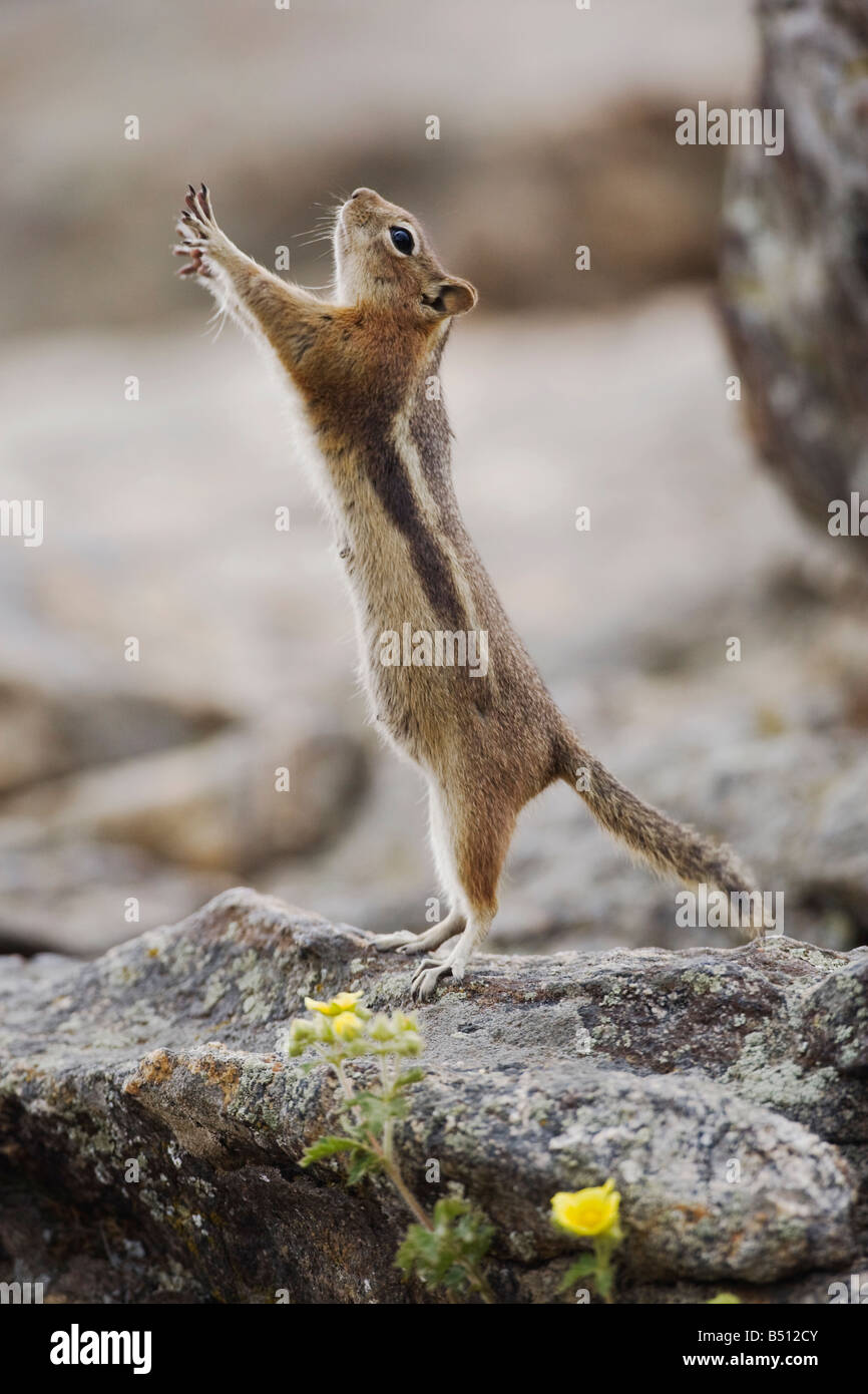 Golden-mantled Ground Squirrel Spermophilus lateralis female Rocky Mountain National Park Colorado USA - Stock Image