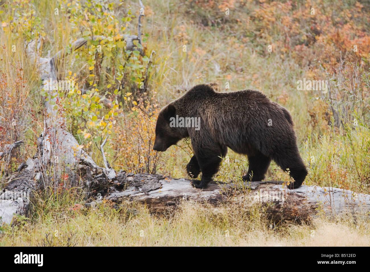 Grizzly Bear Ursus arctos horribilis adult Yellowstone National Park Wyoming USA Stock Photo