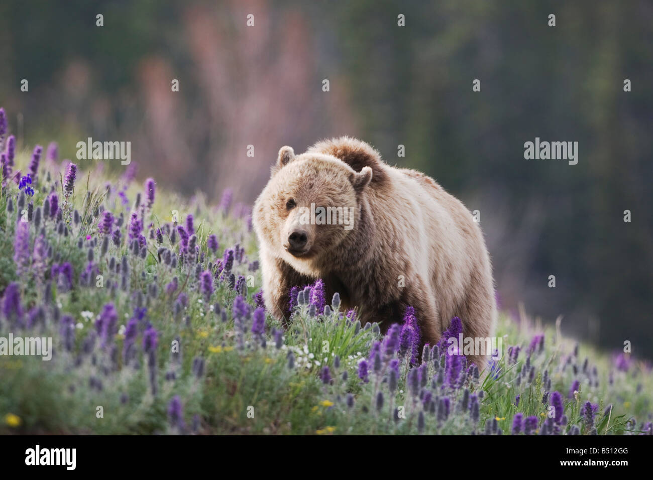 Grizzly Bear Ursus arctos horribilis adult in Purple Fringe Phacelia sericea flowers Yellowstone National Park Wyoming Stock Photo