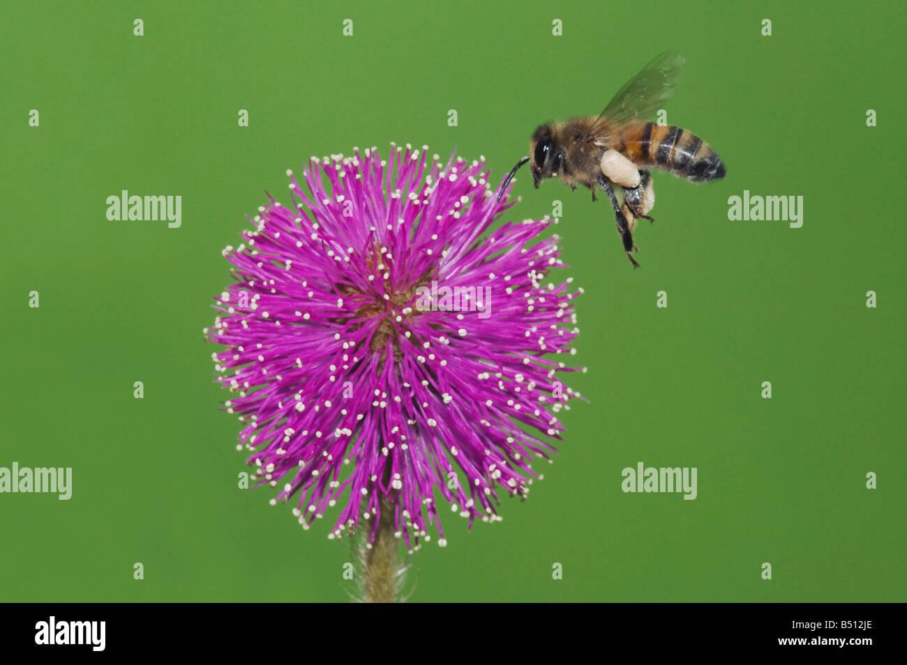 Honey Bee Apis mellifera adult in flight landing on Sensitive Briar Mimosa nuttallii Corpus Christi Coastal Bend - Stock Image
