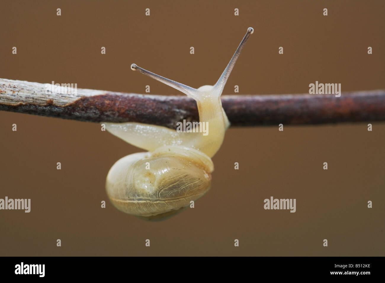 Land Snail Gastropoda adult Sinton Corpus Christi Coastal Bend Texas USA - Stock Image