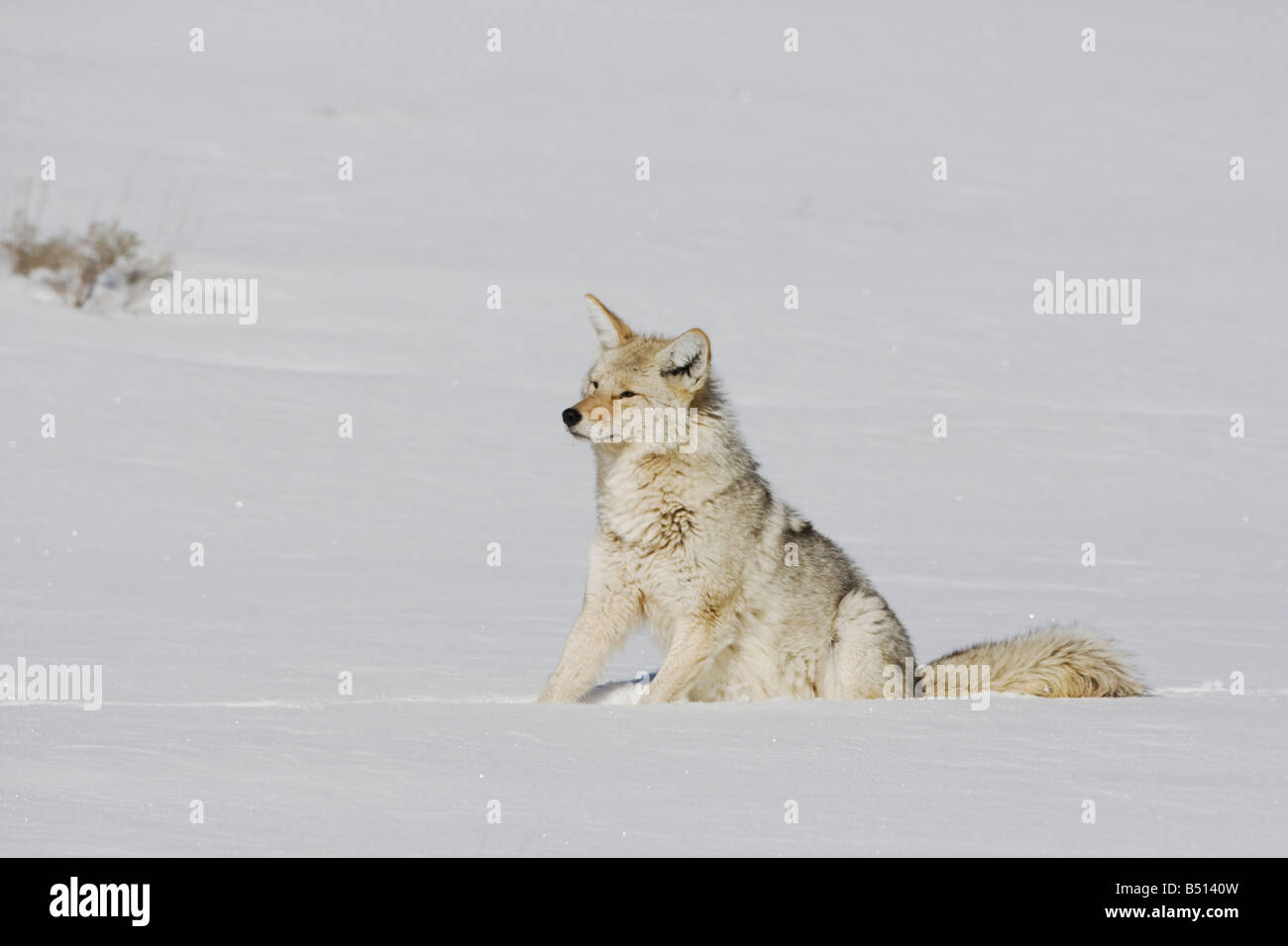 Coyote Canis latrans adult in snow Yellowstone National Park Wyoming USA - Stock Image