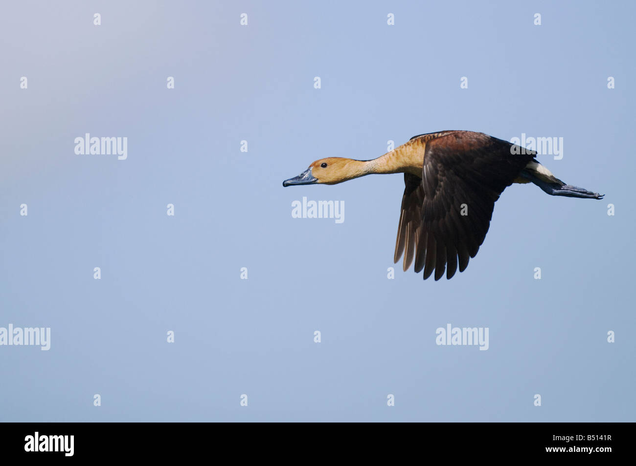 Fulvous Whistling-Duck Dendrocygna bicolor adult in flight Sinton Corpus Christi Coastal Bend Texas USA - Stock Image
