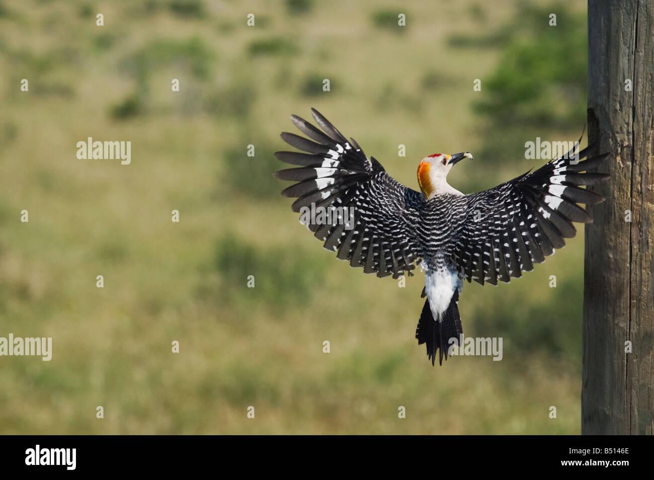 Golden-fronted Woodpecker Melanerpes aurifrons male on nesting cavity Sinton Corpus Christi Coastal Bend Texas USA - Stock Image