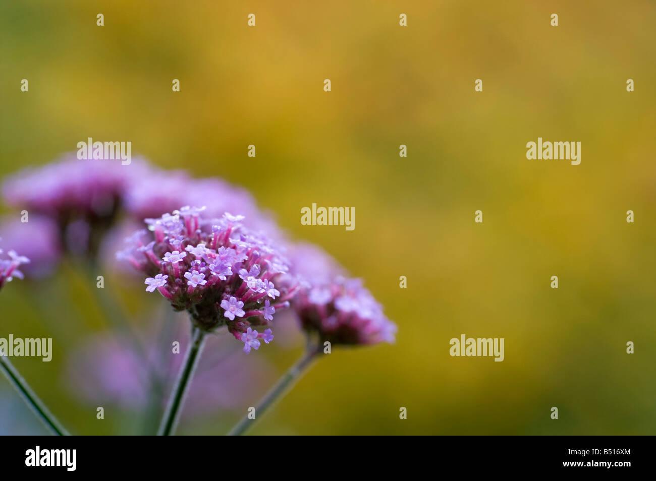 autumn verbena taken at trebah garden cornwall - Stock Image