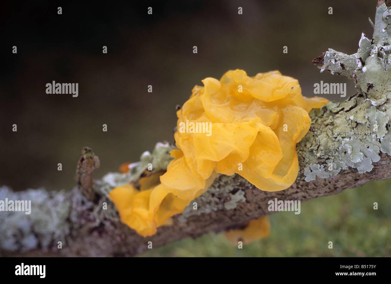yellow brained fungus Tremella mesenterica - Stock Image