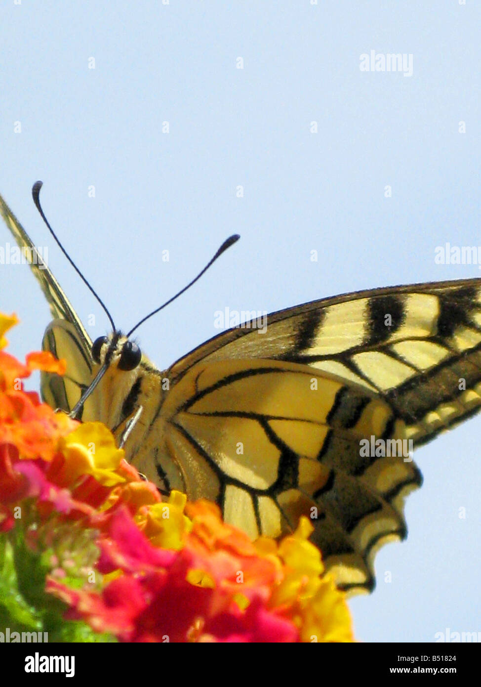 Swallowtail Butterflies Are Large Colorful Butterflies Which Form