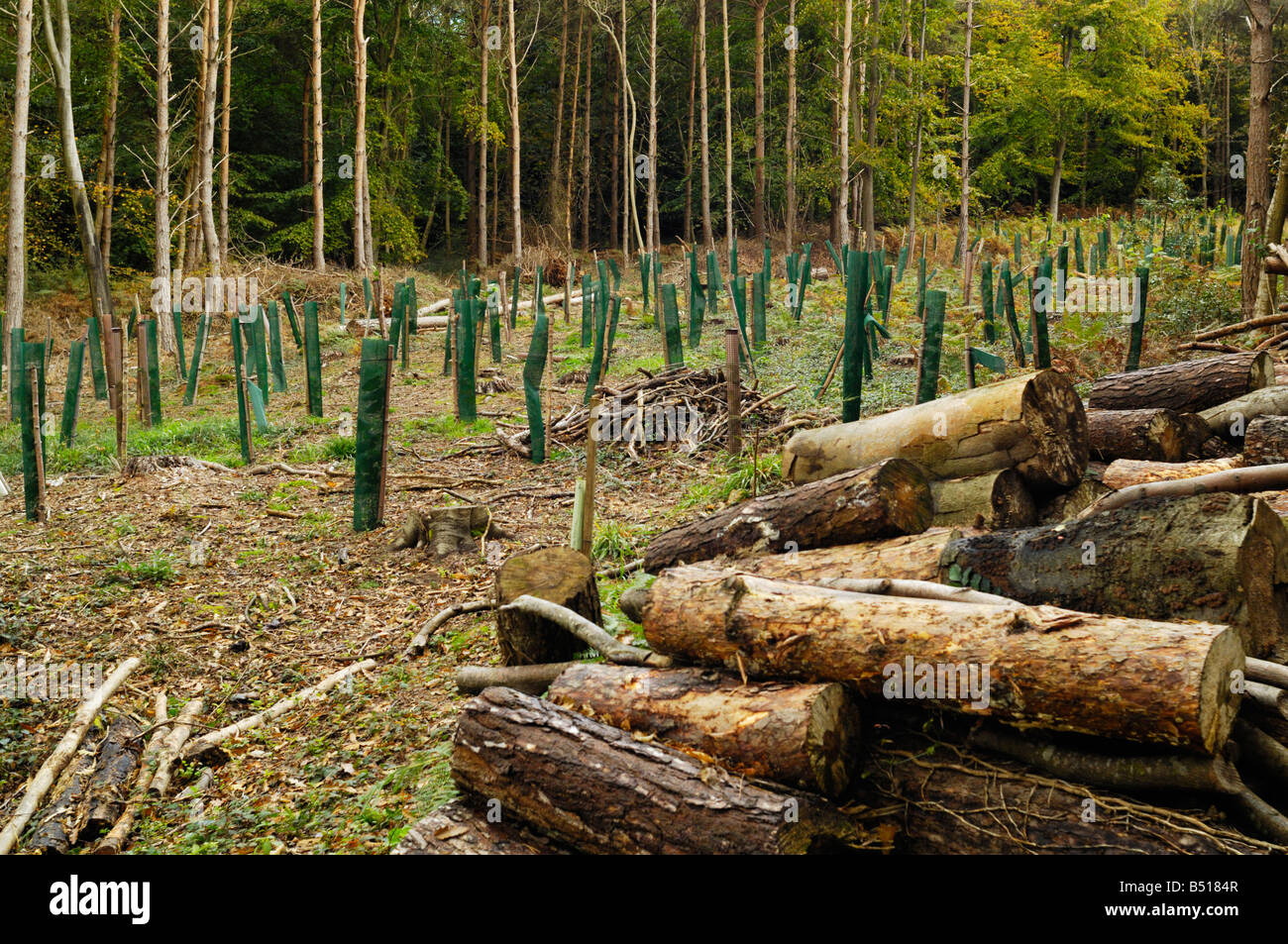 Young trees in the managed woodland of Cleeve Wood at Goblin Combe, Cleeve, North  Somerset, England - Stock Image