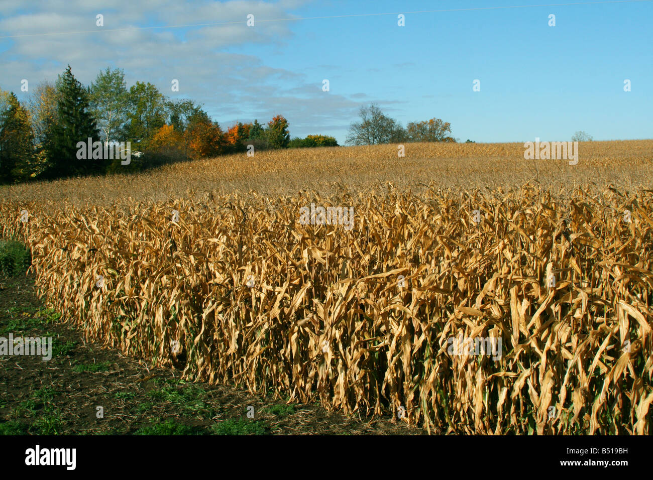 Ripened Corn Field Mid-western USA - Stock Image
