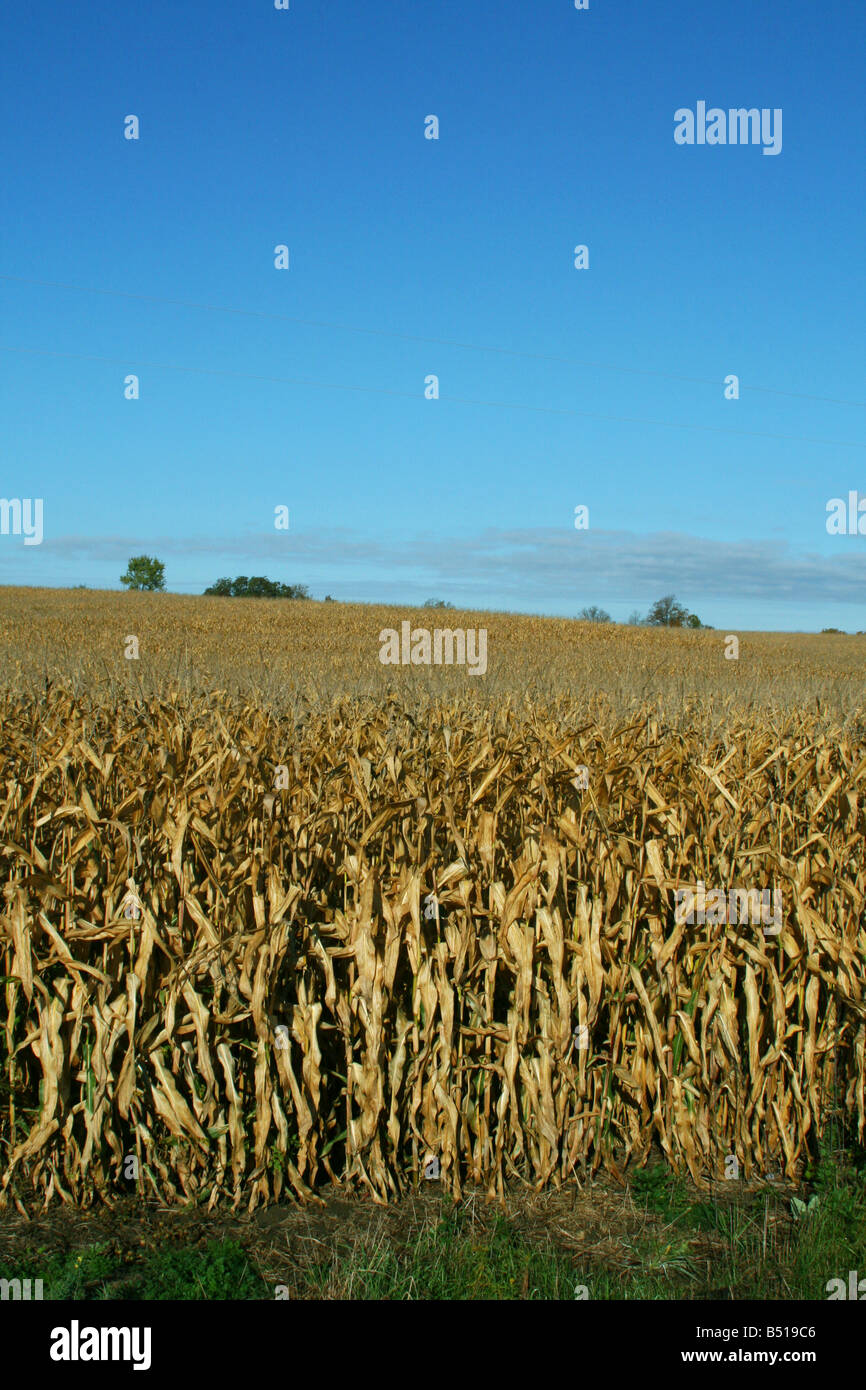 Ripened Corn Field Michigan USA - Stock Image