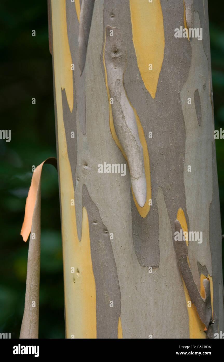 Shining gum (Myrtaceae Eucalyptus nitens), New Forest Arboretum, UK - Stock Image