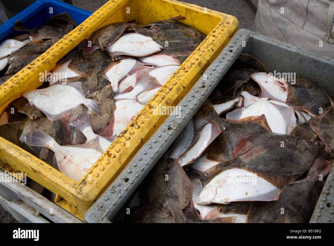 Fresh flatfish caught in the Baltic Sea brought ashore in Leba Poland - Stock Image