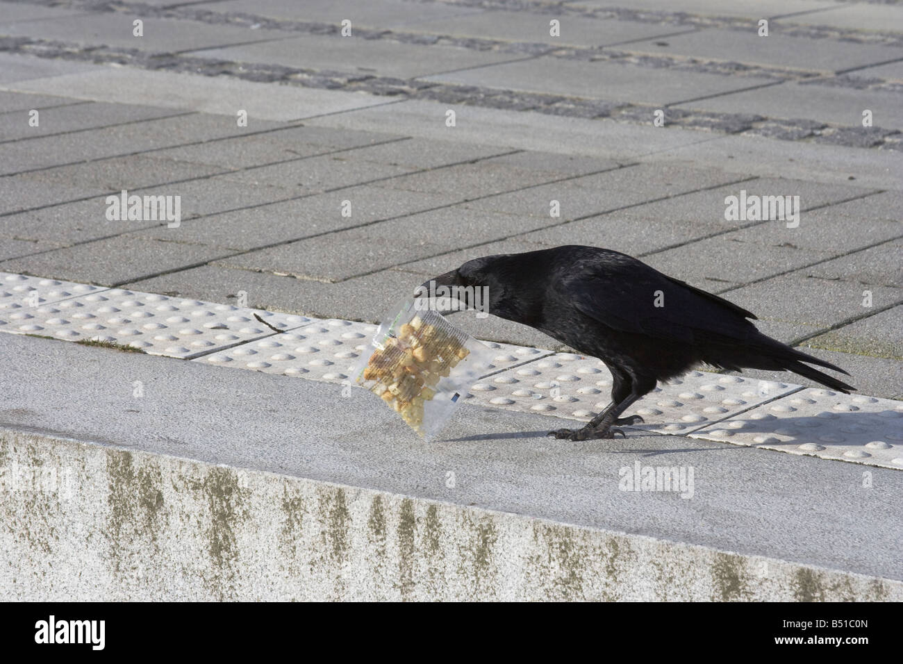 Big black raven on a city street. Close-up - Stock Image