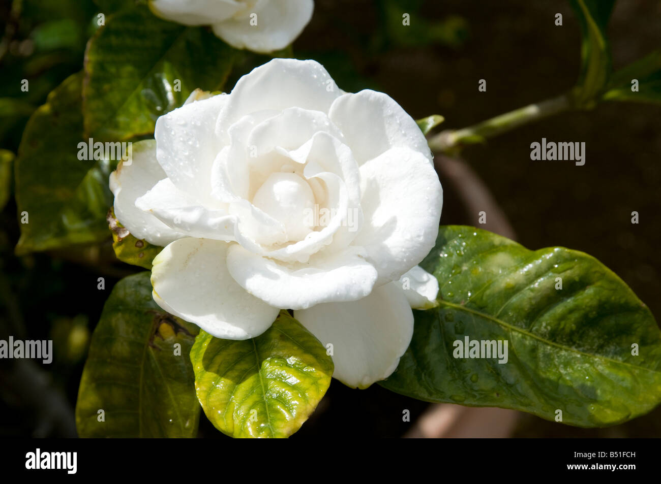 Camellia Royalty Stock Photos Camellia Royalty Stock Images Alamy