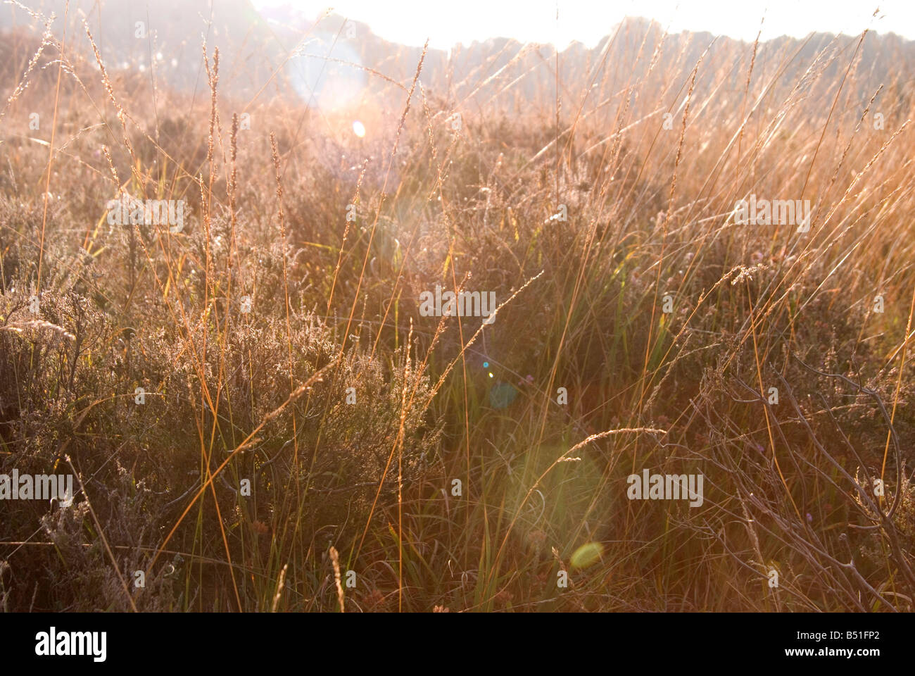 An image looking through long brown grass with the sun behind making the grass seem golden. The sun hits the lens - Stock Image