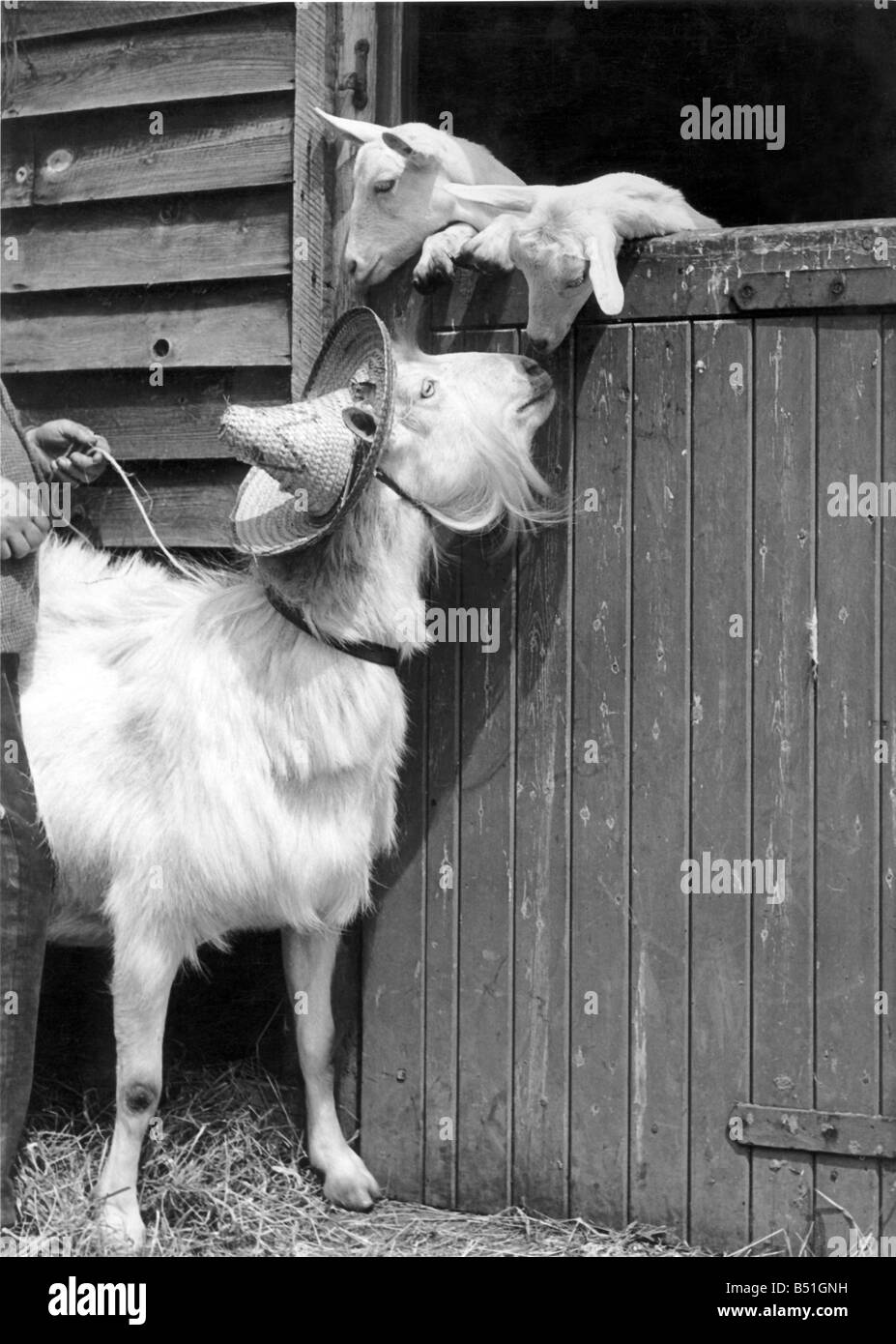Animals Goats;Some hat, said the kids. Sun hat, corrected Grannie Goat. Well, it's nice, anyway, said the youngsters. - Stock Image