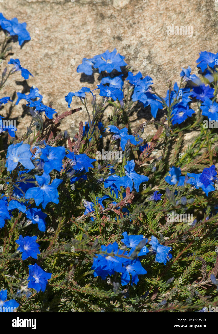 West Australian wildflower blue Laschenaultia - Stock Image