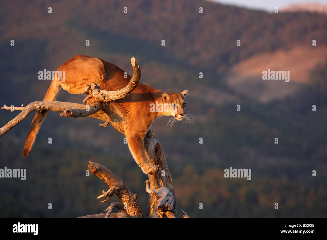 Mountain lion, cougar, puma, in tree in early morning light - Stock Image
