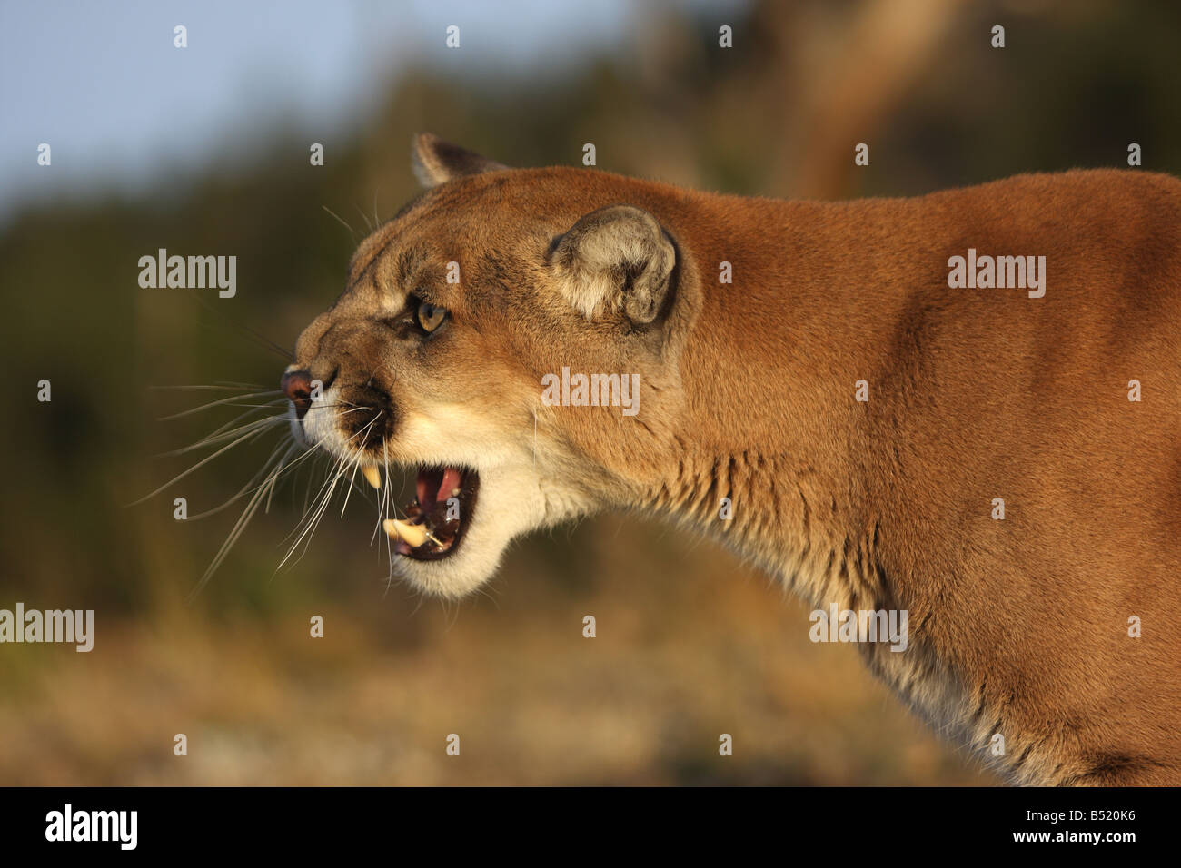 Mountain lion, cougar, puma, snarling - Stock Image