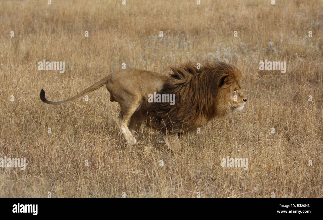 African lion running through long grass - Stock Image