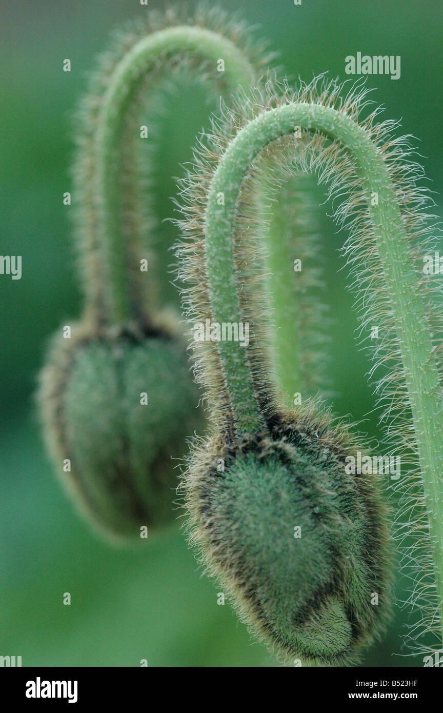 Poppy heads in unison - Stock Image