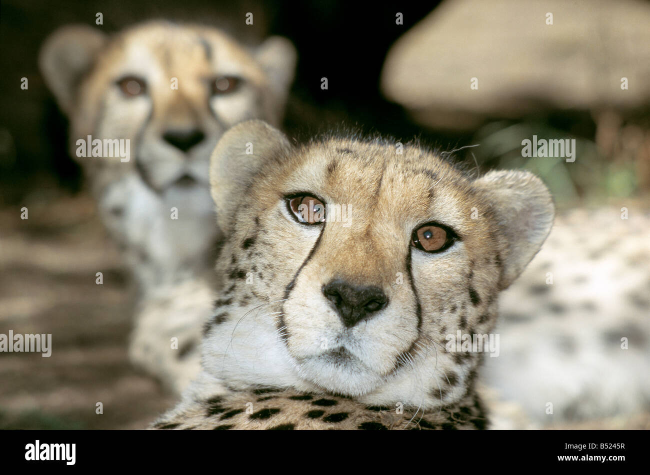 Pair of Cheetahs with the male in focus in the foreground - Stock Image