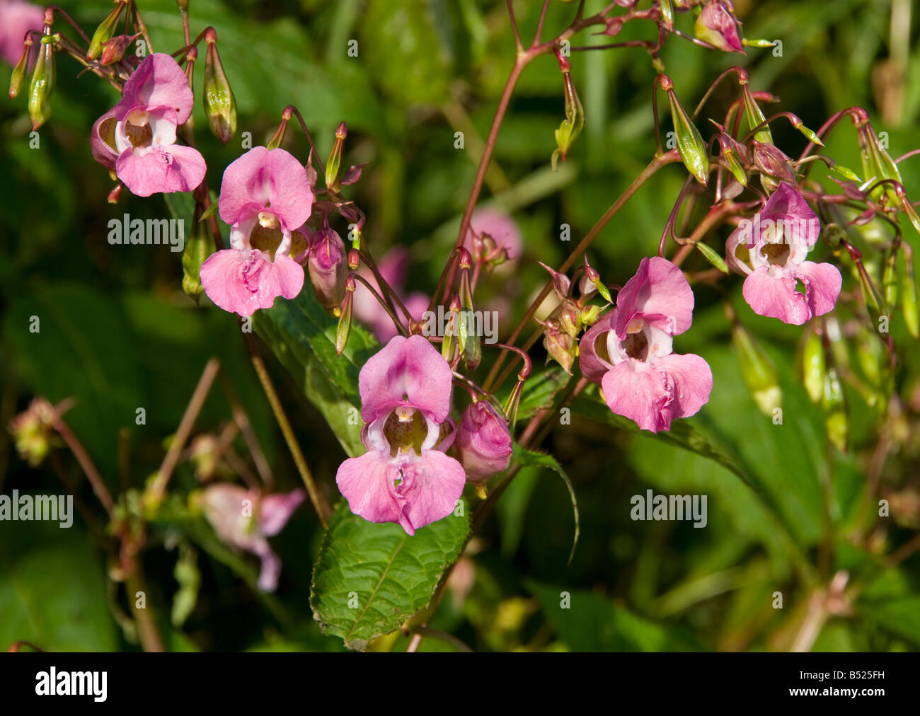 Flower heads of the Himalayan Balsam plant growing on the River Tweed - Stock Image