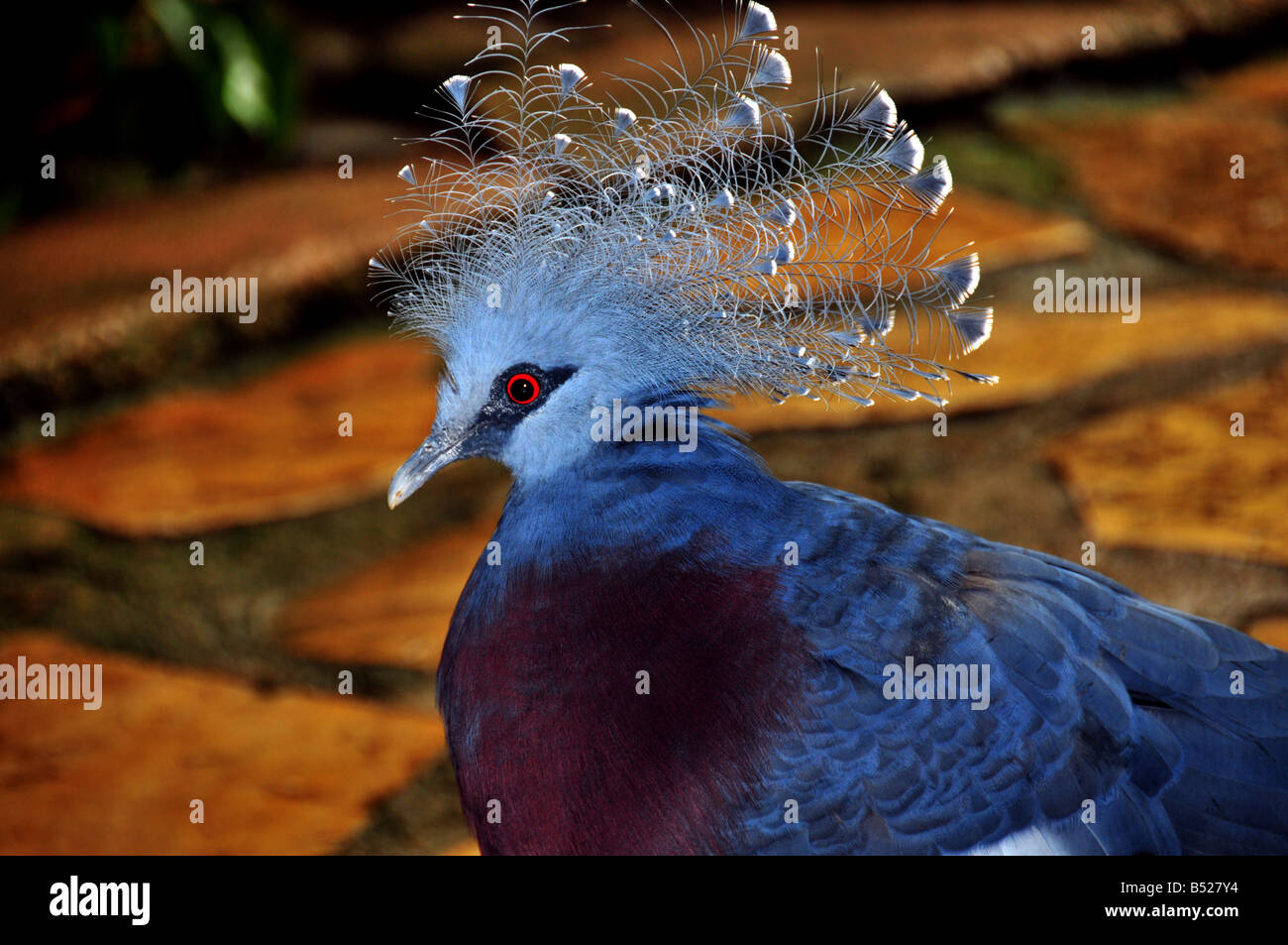 A stunning and exotic bird with blue plumage a red eye and blue crest Stock Photo