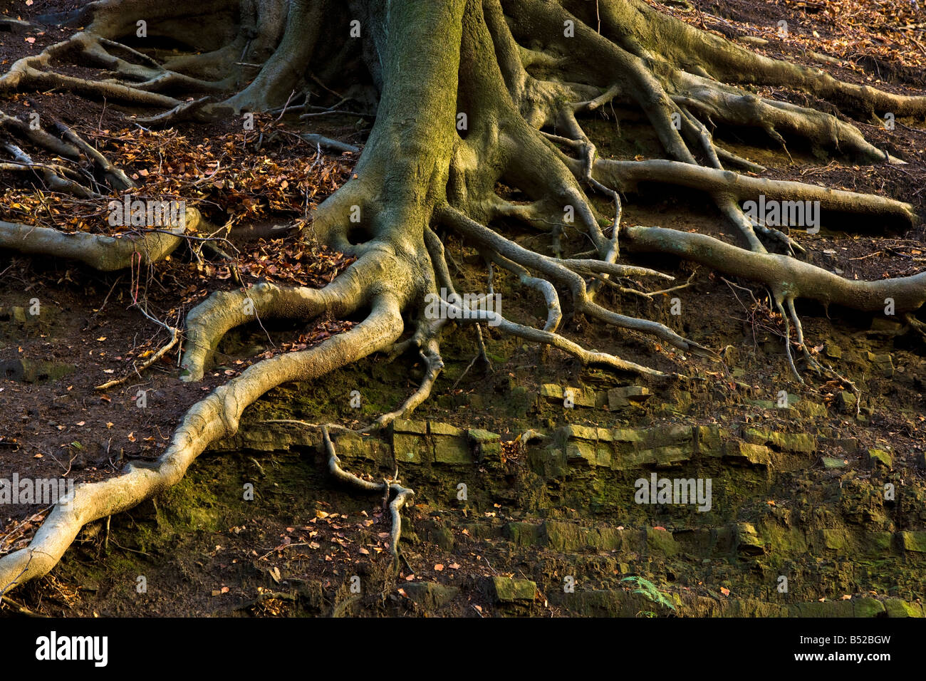 roots of Beech tree. UK - Stock Image