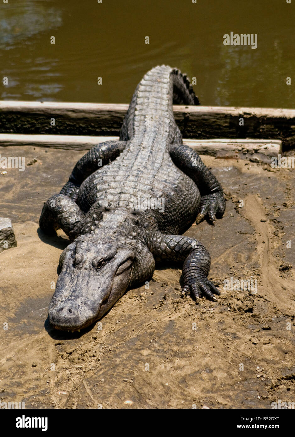 A large, fat alligator basking in the sun - Stock Image