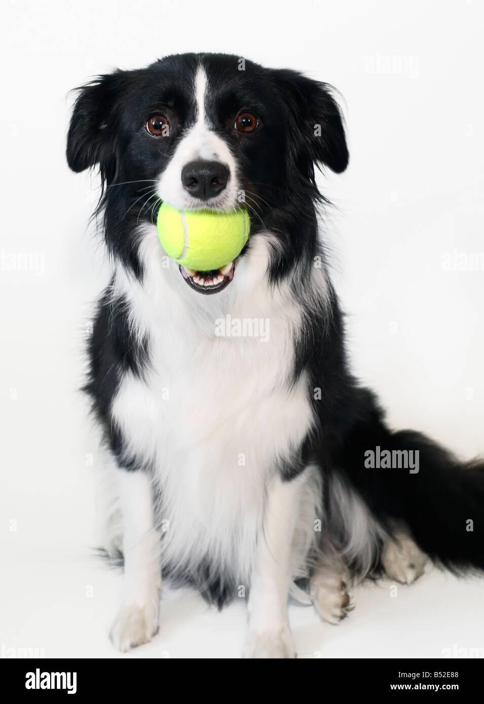 Border Collie Holding A Tennis Ball Stock Photo 20338760 Alamy