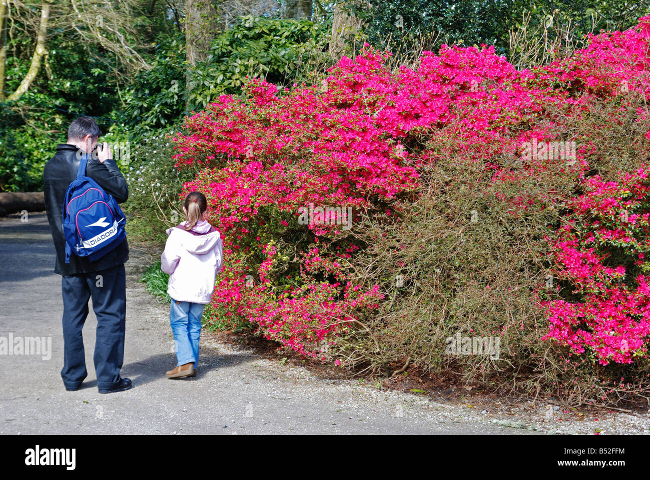 a man taking a photograph of a azalea shrub in trevarno gardens near helston in cornwall,uk - Stock Image