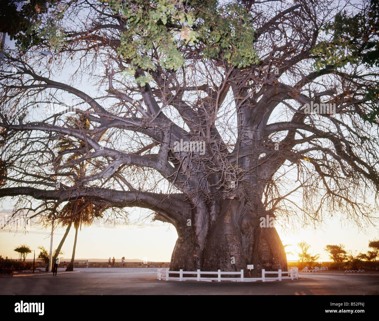 Le baobab emblême de Majunga est celèbre par sa circonférence exeptionnelle de 21 70m à 1m du - Stock Image