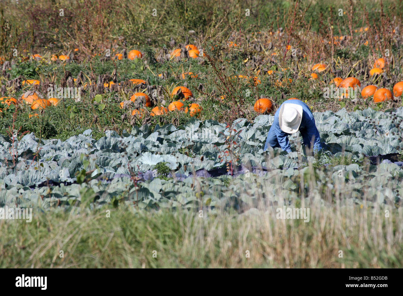 A migrant worker picking cabage during fall harvest time in Wisconsin - Stock Image
