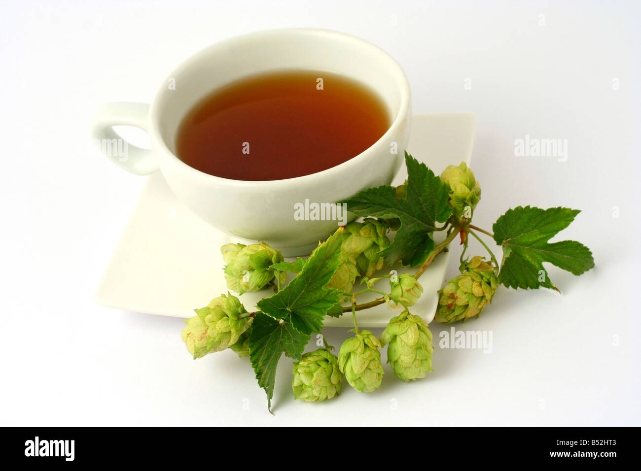 Brewer's hops infusion Humulus lupulus - Stock Image