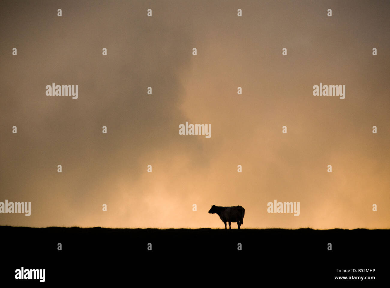 Cow silhouetted - Stock Image